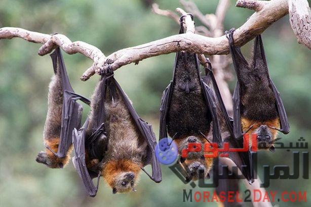 خفافيش نيباه تصل أرض مصر بسلامة الله