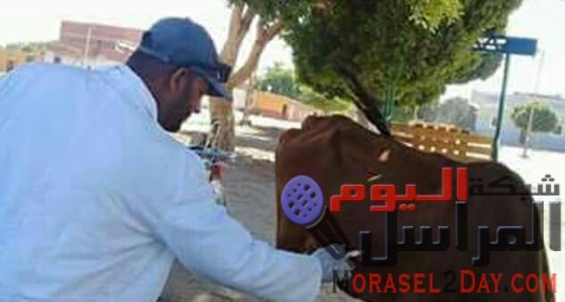 18 جنيها تكلفة تحصين رأس الماشية ضد الحمى القلاعية ببورسعيد..